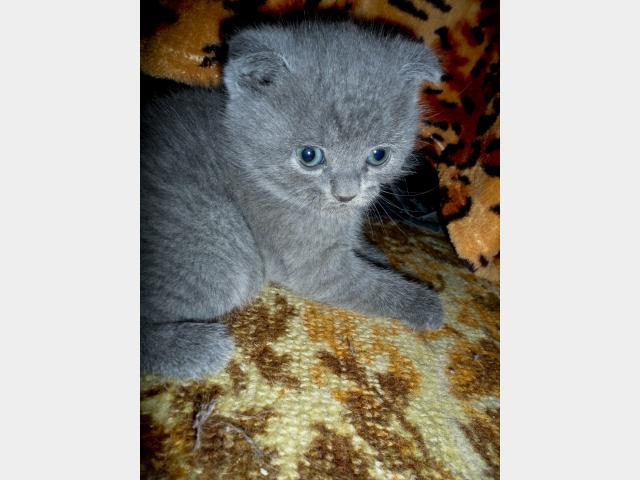Продаю: Шотландский вислоухий котенок ищет хозяев