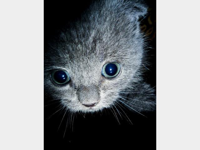 Продаю: Шотландский вислоухий котенок ищет хозяев фото2