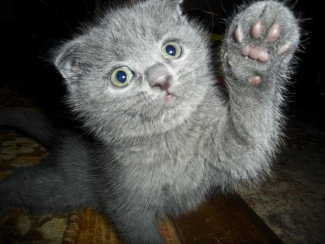 Продаю: Шотландский вислоухий котенок ищет хозяев фото3