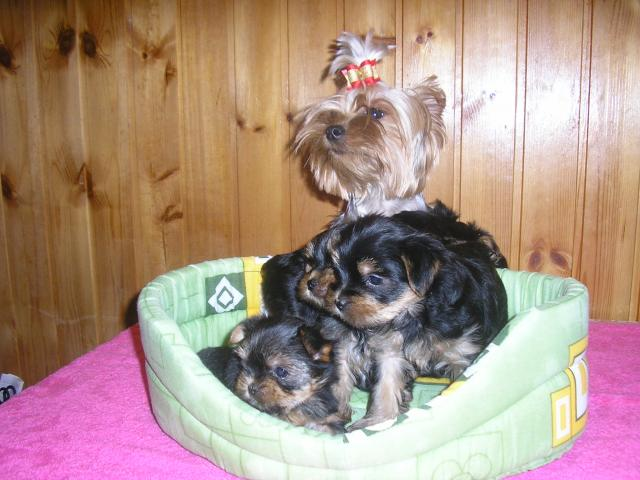 Продаю: тся щеночки йоркширского терьера фото3