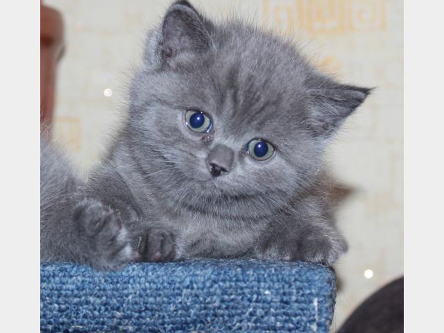 Продаю: тся очаровательные британские котята