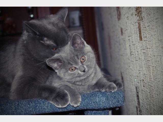 Продаю: тся очаровательные британские котята фото2