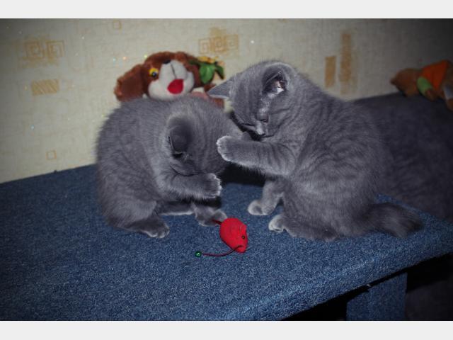 Продаю: тся очаровательные британские котята фото3
