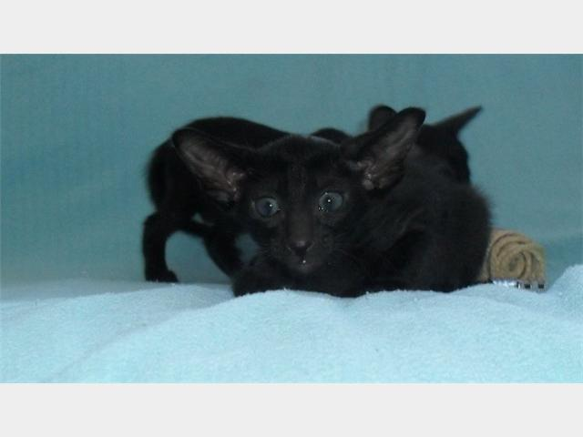 Продаю: Ориентальные и сиамские котята с доставкой фото2