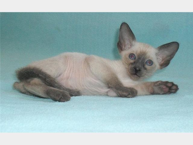 Продаю: Ориентальные и сиамские котята с доставкой