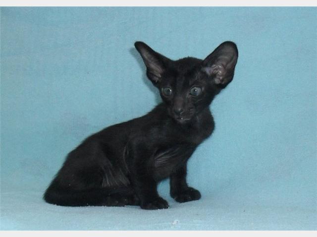 Продаю: Ориентальные и сиамские котята с доставкой фото3