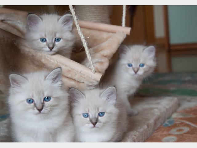 Продаю: Невские маскарадные котята