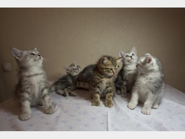 Продаю: Котята британские мраморные