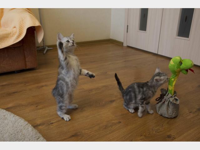 Продаю: Котята британские мраморные  фото2