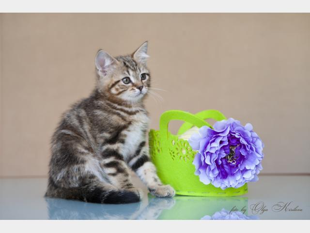 Продаю: Котята британские мраморные  фото3