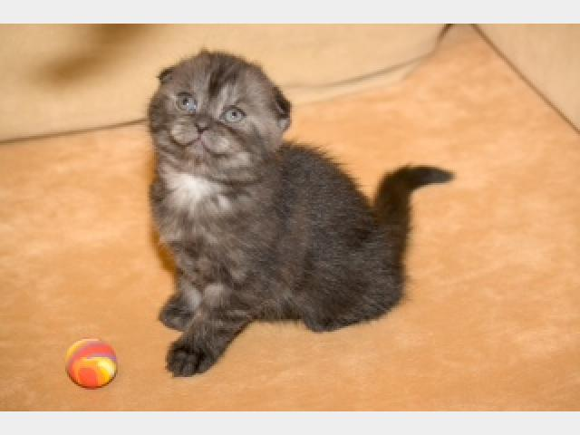 Продаю: Чудесные шотландские котята-медвежата фото3