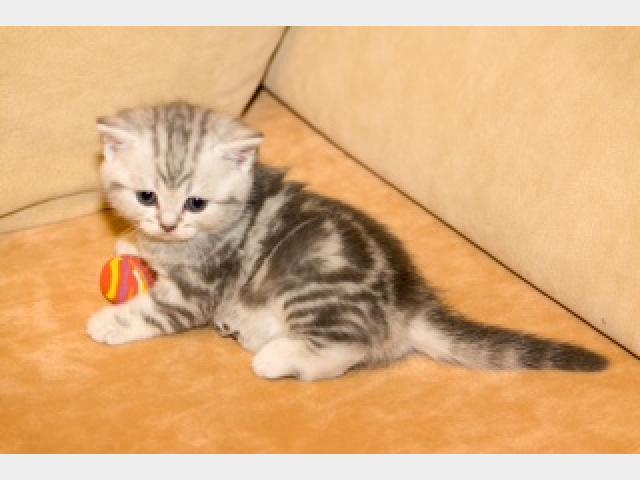 Продаю: Чудесные шотландские котята-медвежата фото2