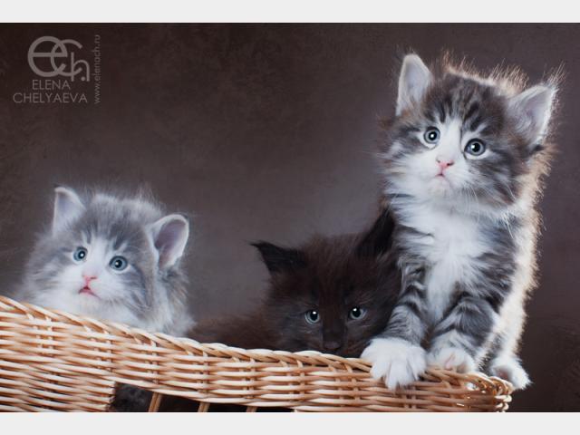 Продаю: тся котята с родословной