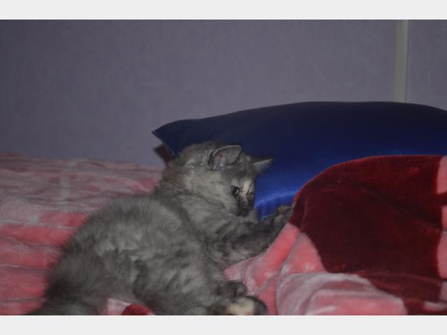 Продаю: Шотланская плюшивая хайленд-страйт кошечка  фото3
