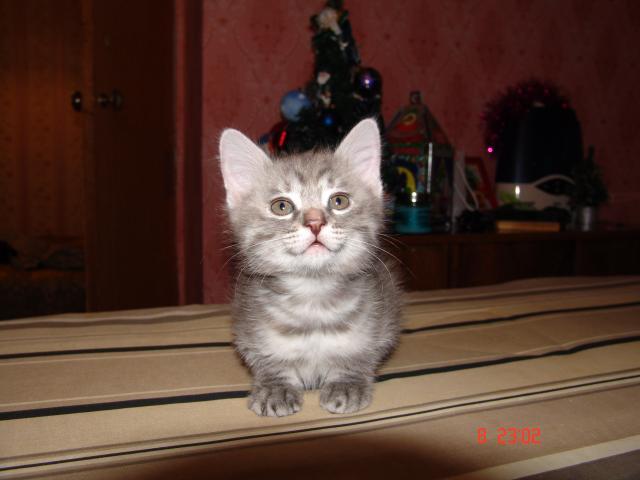 Продаю: Котята курильского бобтейла фото2