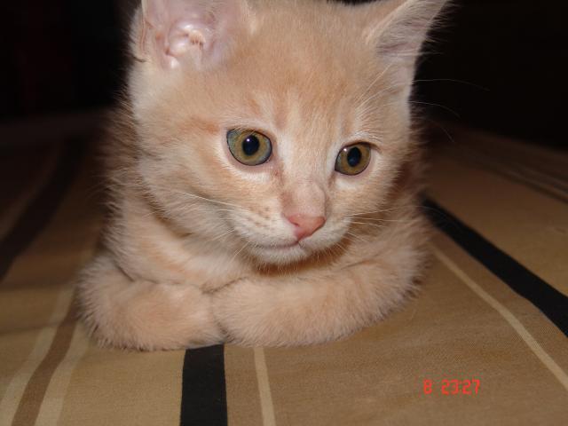 Продаю: Котята курильского бобтейла фото3