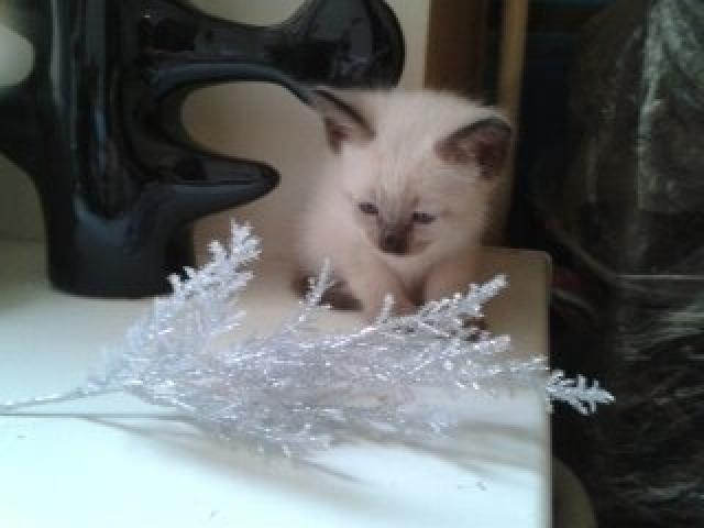 Продаю: Тайские котята фото3