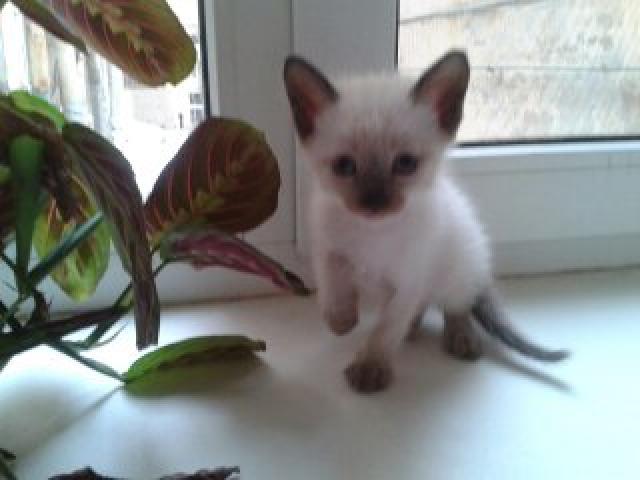 Продаю: Тайские котята