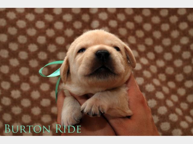 Продаю: Эксклюзивные щенки лабрадора от чемпионов
