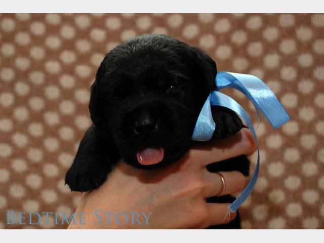 Продаю: Эксклюзивные щенки лабрадора от чемпионов фото2
