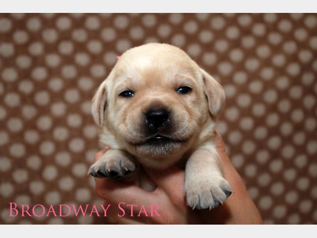 Продаю: Эксклюзивные щенки лабрадора от чемпионов фото3