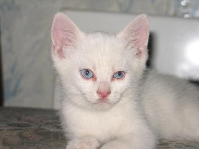 Отдам в дар: Отдам Котенка - блондин с голубыми глазами