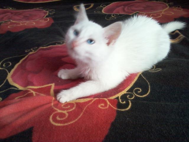 Отдам в дар: Белый кокёнок в дар фото3