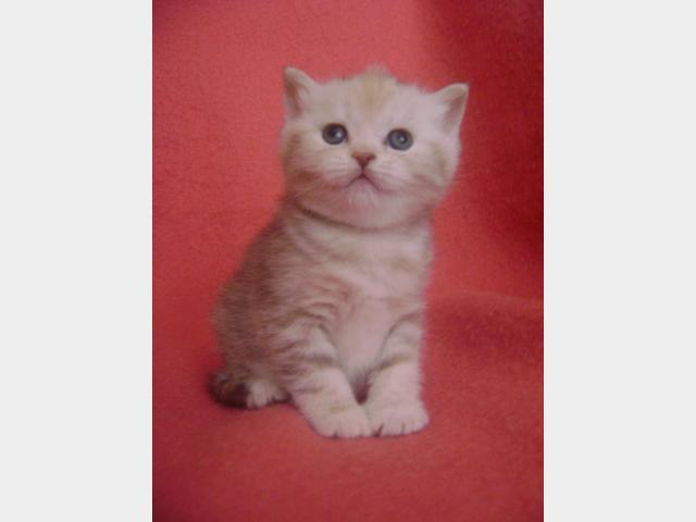 Продаю: Очаровательные британские котята