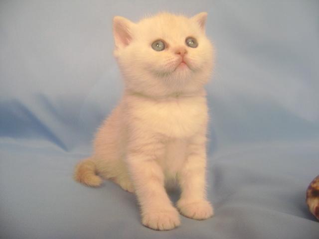 Продаю: Очаровательные британские котята  фото2