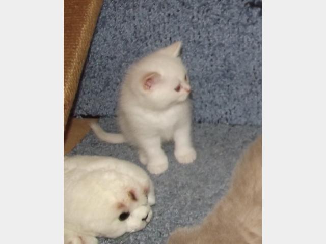 Продаю: Белый британский котенок