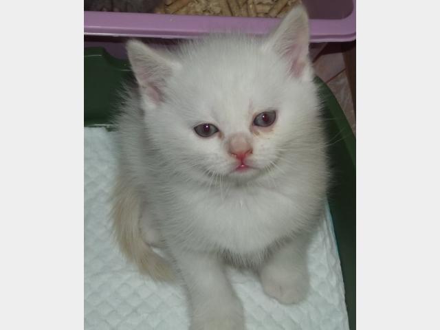 Продаю: Белый британский котенок фото2