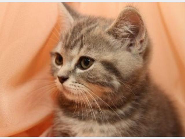 Продаю: тся выставочные котята скоттиш страйт