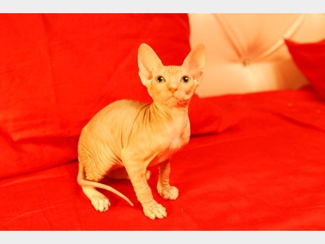 Продаю:  котят Донского сфинкса