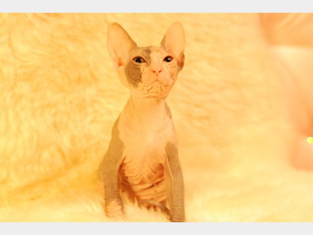Продаю:  котят Донского сфинкса фото2