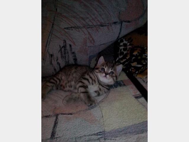 Продаю:  котят фото4