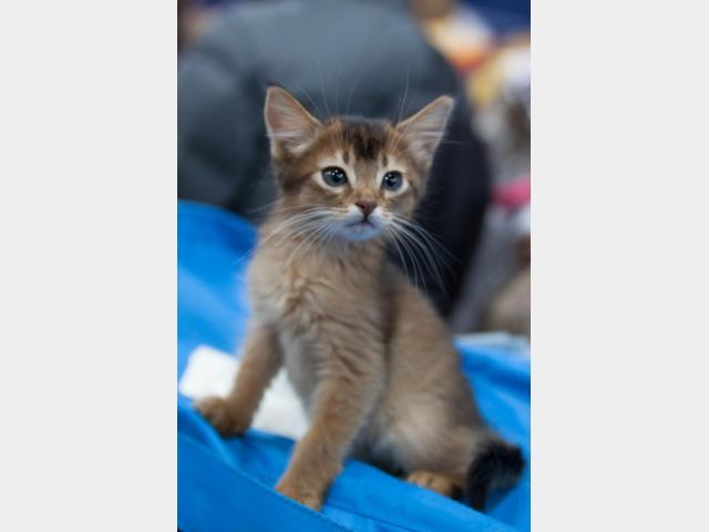 Продаю: Котенок-бельчонок фото2