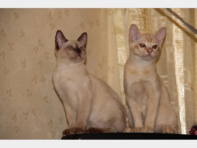 Продаю: Бурманские котята готовы переехать в новый дом