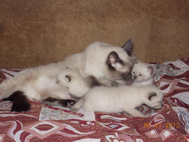 Продаю:  милейших котят тайской породы Недорого