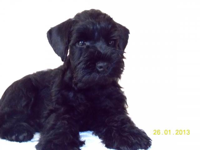 Продаю: Перспективный щенок цвергшнауцера черного окраса фото3