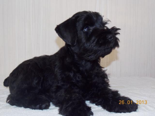 Продаю: Перспективный щенок цвергшнауцера черного окраса фото2