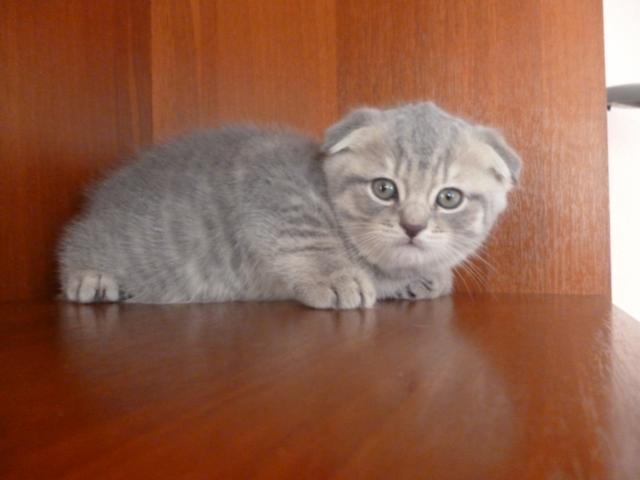 Продаю:  шотландских котят фото2