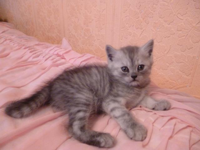 Продаю:  шотландских котят фото3