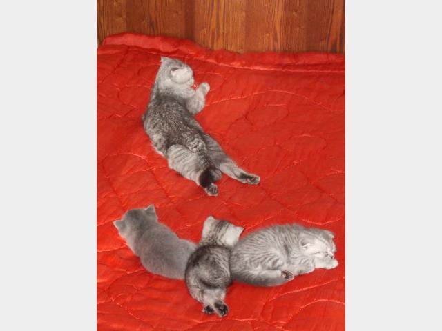 Продаю:  шотландских котят