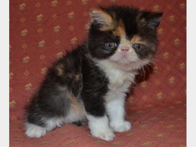 Продаю:  экзотического котенка фото2
