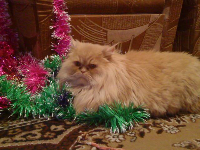 Вязка: Котик полуперс ищет подружку