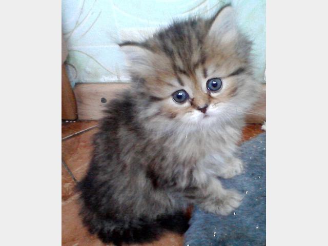 Продаю:  персидских котят