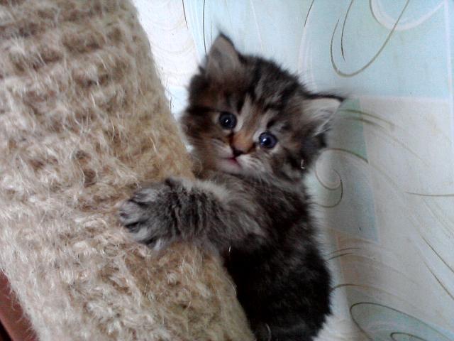 Продаю:  персидских котят фото2