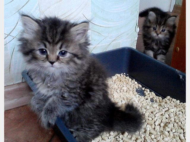 Продаю:  персидских котят фото3