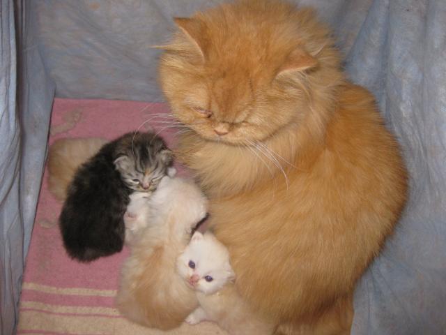 Продаю: тся персидские котята