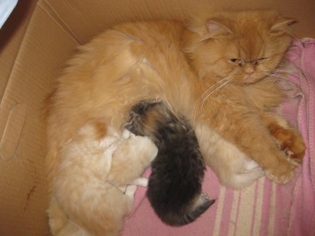 Продаю: тся персидские котята фото2